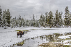 Yellowstone park bison (Pattys-photos) Tags: yellowstone park bison pattypickett4748gmailcom pattypickett snow