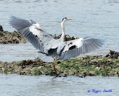 Grey Heron (wok smuggler) Tags: greyheron ardeacinerea sigma150500 nikond7100 water animal bird aquaticbird landed wings