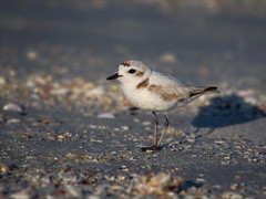 At the End of the Day (Kathy Macpherson Baca) Tags: snowyplover beaches shells wings animal animals bird birds ave aves feathers fly shore endangered small plover florida planet wildlife protect nest beach earth world eggs mate sand bay ocean migrate sea