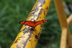 Borboleta bairro São João JM - Wir Caetano - 26 04 2017 (13) (dabliê texto imagem - Comunicação Visual e Jorn) Tags: borboleta inseto amarelo escada ferrugem