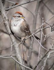 American Tree Sparrow (Knarr Gallery) Tags: chippingsparrow bird birdwatching birding waterlooregion cambridge riversidepark spring bush wildlife nikon d300 tamronsp150600mmf563divcusd knarrgallery darylknarr knarrphotography