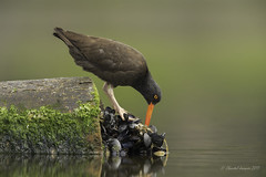 Digging for gold (Chantal Jacques Photography) Tags: diggingforgold oystercatcher depthoffield bokeh wildandfree nature wildlife esquimaltlagoon ridingoncoattails