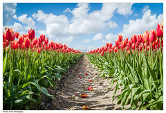 Pathway to Heaven (Btwienclicks) Tags: holland tulips snapshot tulipfields colors art beauty flowers