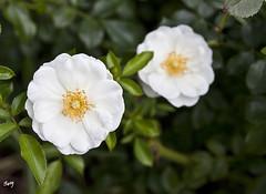 Rosa... Parc de Cervantes. (svet.llum) Tags: rosa flor flores barcelona catalunya cataluña parque parc parcdecervantes planta verano