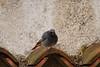 Codirosso Spazzacamino. Black Redstart (Phoenicurus ochuros) (omar.flumignan) Tags: codirossospazzacamino blackredstart phoenicurusochuros passeriforme uccello bird volatile canon eos 7d ef100400f4556lisusm allnaturesparadise ngc