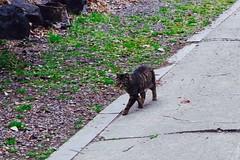 Today's Cat@2017-03-24 (masatsu) Tags: cat thebiggestgroupwithonlycats catspotting pentax mx1