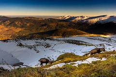 Iberian Wild Goats (Capra pyrenaica) at Guadarrama National Park (Madrid, Spain) (Javier Ábalos Álvarez) Tags: satanism satan capra pyrenaica cabra montesa iberian wild goat winter snow alpine central system spain mountain mammal