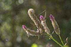 青葙上的竹節蟲 (Sam's Photography Life) Tags: 青葙 竹節蟲 生態 自然 昆蟲 植物 insect 1dx 100mm 1d canon 百微 city colorful