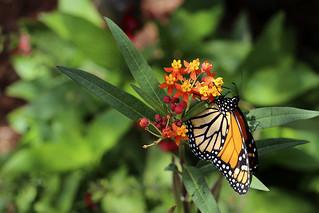 In a Butterfly Garden