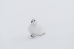 Ptarmigan (BernieErnieJr) Tags: ptarmigan colorado coloradowildlife wildlife sonya6300 sony18105mmg frontrange greatphotographers teamsony rockymountains snow snowy overcast bird bernie duhamel