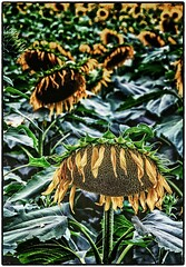 Sunflower's Last Days (ammozug) Tags: flower sunflower dying