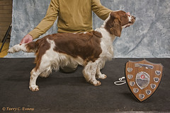 Reserve Best in Show, Limit Bitch - Taimeres Two Step (evinrisca) Tags: welshspringerspaniel wales chepstow championship dogshow welshie spaniel champshow