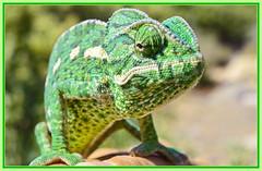 Léon-le-camé vous souhaite de belles fêtes de Pâques   🐞  Leon, the chameleon wishes you all a beautiful Easter time ! (www.nathalie-chatelain-images.ch) Tags: maroc morocco animal caméléon chameleon ngc nikon fabuleuseenfêtesp