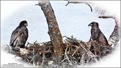 American Bald Eagle babies (NancySmith133) Tags: americanbaldeagle cemeteryeagles centralfloridausa thecitybeautiful painterly