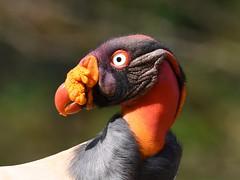 King Vulture - adult (anacm.silva) Tags: kingvulture vulture abutre uruburei abutrerei ave bird wild wildlife nature natureza naturaleza birds aves necrófago bocatapada costarica sarcoramphuspapa