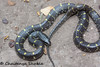 Yellow spotted wolf snake (Chaitanya Shukla) Tags: colubridae lycodonflavomaculatus macro reptilesandamphibiansofindia snakesofindia typicalsnakes yellowspottedwolfsnake pune maharashtra india