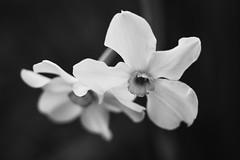 requiem (dagomir.oniwenko1) Tags: daffodil flowers canon canonefs60mmf28macrousm blackandwhite bw nature mono boston england uk gb