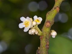 ES8_9409 (Eerika Schulz) Tags: rio negro ecuador puyo pastazablume blüte pflanze flower plant eerika schulz