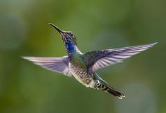 The Dancer. El Bailarin. White Necked Jacobin Hummingbird, Yerette Hummingbird Sanctuary, San Jose de Oruña-Maracas, Trinidad. (pedro lastra) Tags: winner alt