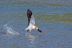 DSC_2203_DxOTadorne de Belon Tadorna tadorna - Common Shelduck (Berzou) Tags: tadornedebelon oiseau bird nature naturebynikon fantasticnature tadorna nikond7200 tamron150600