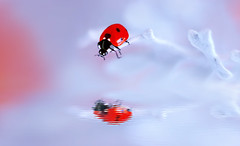 Ledybug 🐞 ❄️ (ElenAndreeva) Tags: color water reflection flower sun light summer bokeh beautiful cute colors art insect canon pink garden top soft tones fantasy sweet focus bug best amazing nature photograph macro spring ledybug today mirror model magic macrophotography marvelous blue beauty ladybug lovely lens lights lake lady lighting view