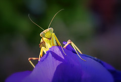 Bonjour! (Kathy Macpherson Baca) Tags: bugs creature mantid flowers animal animals insect insects mantis praying preying pray asian predator world nature macro earth wildlife green flower stalking bonjour happy spring invertabrates cheerful pansy bug