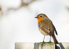 Robin on a signpost (Martzimages) Tags: robin martzimages post signpost bird