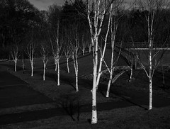 birches (lowooley.) Tags: allendale northpennines northumberland park playground trees birches white monochrome explored