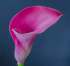 Calla flower (frankmh) Tags: flower calla callalily macro hittarp sweden indoor