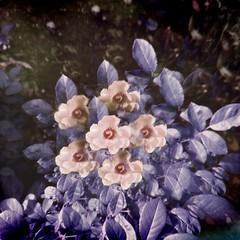 sensitive (meeeeeeeeeel) Tags: hallucinations crazy jellylens miragefilter miragelens canteiro jardim garden natureza nature iphone iphoneography hipstamatic squareformat roseira rosa rosas roses rose morado roxo violet purple surrealcolors flower plant surreal