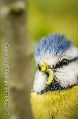 Blue Tit  / Cyanistes Caeruleus aka Parus Caeruleus (I'll catch up with you later, your comments and cr) Tags: naturewatcher rertug nenecountrypark nikkor200500mmf56eafsed nikond610fx wildlifephotography birdphotography animal bluetit