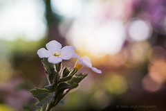 Sony a7 50mm (Jasrmcf) Tags: sony sonya7 sonyalpha sonylens alpha 50mm ilce7 sel50f18f bokeh bokehlicious bokehgraph dof smooth blur macro macros macrotube garden nature ngc greatphotographers pink white flower vintage beautiful