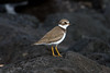 Semipalmated Plover at San Cristobal IMG_7032