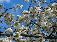 Lush flowering (RIch-ART In PIXELS) Tags: rurberg eifel germany canon blossom flowers tree deutschland