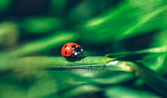 My Fair Lady Bug (Lynleigh Cooper) Tags: ladybug insect bug green red animal wildlife grass animals beautiful closeup beauty spring garden macro nature naturephotography naturalbeauty naturalworld naturephotograph small depthoffield outdoors photography composition colorimage color detail delicate nikon nikond750 d750 colors colorful natureshot naturecloseup wildanimal details bokeh smoothbokeh new photo photographer photooftheday photograph bestoftheday beautyinnature oklahoma oklahomacity america amazing