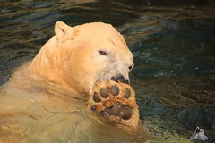 Erlebniszoo Hannver 15.04.2017 101 (Fruehlingsstern) Tags: eisbären polarbear sprinter melana elefanten seelöwen weiskopfseeadler yukonbay erlebniszoohannover hannover canoneos750 tamron16300 zoo