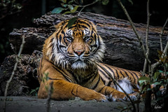 tigre (lafoto.) Tags: tigre animaux animal big cat light travel wild life portrait forest photographie photo lafoto