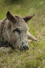 _MG_6101 (Pablo Alvarez Corredera) Tags: burro gato gata gallina rural medio vida hierba alta pradera praderio espigas arbol arboles burrito orejas orejitas gatita