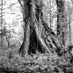 Mamiya047 (salparadise666) Tags: mamiya c330 sekor 80mm fuji neopan acros 100400 caffenol cl semistand 36min vintage camera medium format square 6x6 bw monochrome nature tree roots nils volkmer landscape detail wood life hannover region calenberger land niedersachsen germany dof bokeh