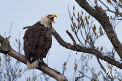 Bald Eagles of the Jersey Shore | 2017 - 18 (RGL_Photography) Tags: americanbaldeagle baldeagle birds birdsofprey eagle gardenstate godblessamerica haliaeetusleucocephalus jerseyshore monmouthcounty mothernature nature nikond500 ornithology raptors wildlife wildlifephotography nikonafs600mmf4gedvr bird unitedstates newjersey us