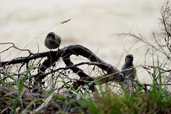 DSCF7279 (nason.sarah) Tags: sparrows birds pair couple house nz newzealand new zealand abel tasman abeltasman coast track wildlife