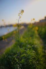 * (t*tomorrow) Tags: canon eos 5d2 35mmf14ais 35mm flower 菜の花