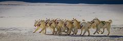 Greenlandic sled dogs (Benedikt Halfdanarson) Tags: greenland grænland ilulissat greenlandicdog sleddog dogsledding dogsledge husky