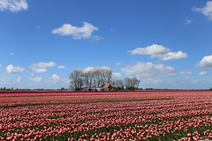 Tulips (dariusz_ceglarski) Tags: holandia holland hollanda holand holadnia hollands holandsko holanda herkingen middelharnis dutch dirksland dariusz tulipany tulipes tulips tulpen túlípanar tuin tulip canon ceglarski canon6d closeup natuur netherlands nl niederlande nederland nederlando netherlads netherland flakkee goereeoverflakkee goeree goereeover flower flowers flowerbed