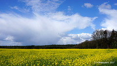 Veld met koolzaad  + een mooie lucht (ditmaliepaard) Tags: koolzaad wolken merzen a6000 sony duitsland germany ngc