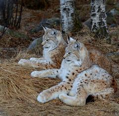 To store kattepuser (DSC_0554) (sirispj) Tags: langedrag eurasianlynx gaupe lynxlynx lynx