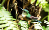 IMG_5459  Violet-tailed Sylph_hummingbird-female