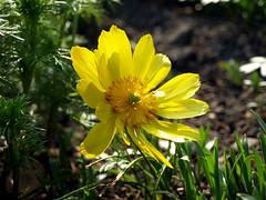 Ogród Botaniczny - Wrocław (tomek034 (Thank you for the 1 300 000 visits)) Tags: wrocław ogródbotaniczny polska kwiat żółty
