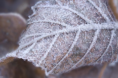 The lines of a frozen leaf (Jessie van Weert) Tags: wonderful explore extreme extreem red dynamic mysterious dynamisch outdoor outside sun sunshine interesting impressive incredible nikon d3100 nice light orange oranje photography plant plants adorable atmosphere autumn staatsbosbeheer depthoffield depth dof detail flickr fotografie fabulous forest focus gorgeous holland bijzonder texture closeup beautiful netherlands nature ngc natuur natuurgebied macro winter frozen leave ice