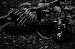 perro1 (Lilith Photographyy) Tags: dead death dog skeleton morbid corpse cadaver blackandwhite photography dark darkness darkphotography blackandwhitephotography bones